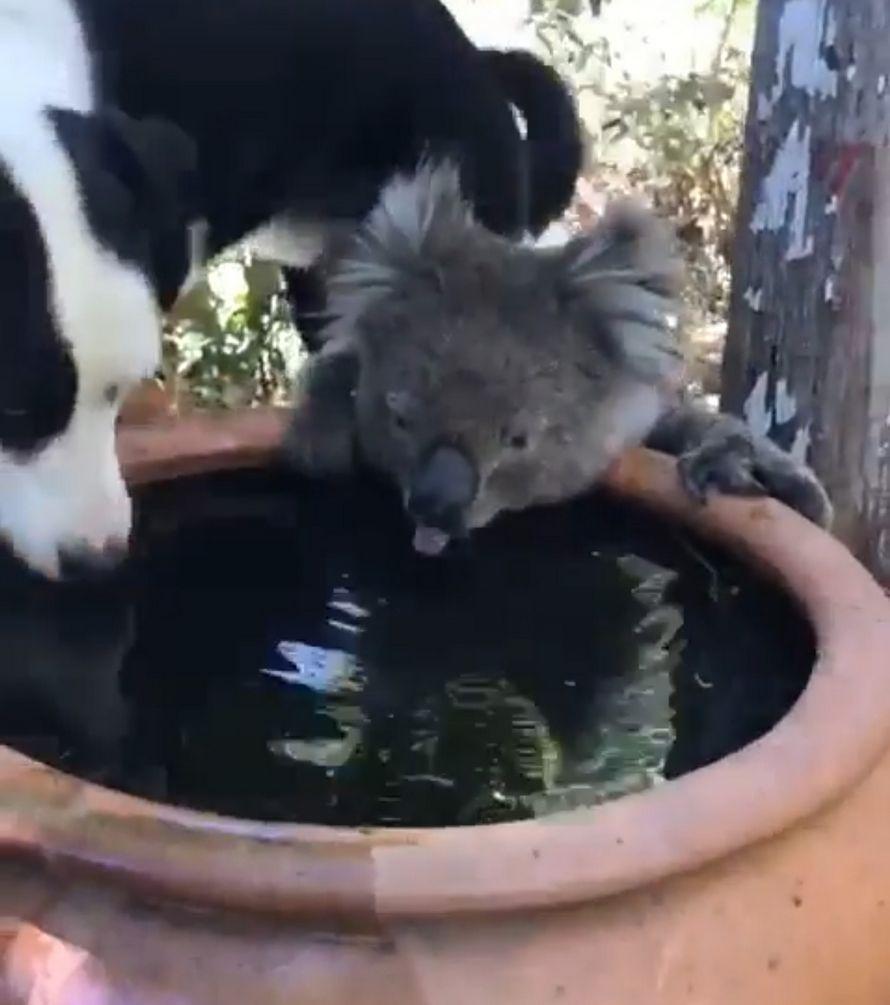 Ce koala a bu quelques gorgées d'eau avec le chien d'une famille dans un jardin en Australie