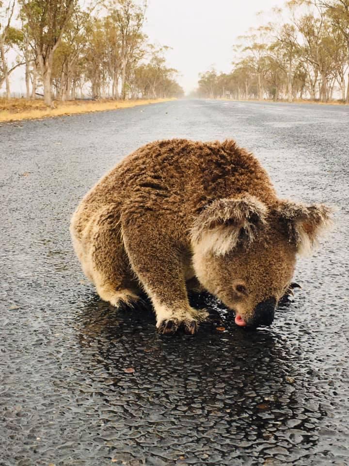 Ce koala assoiffé a léché de l'eau de pluie sur la route après une averse