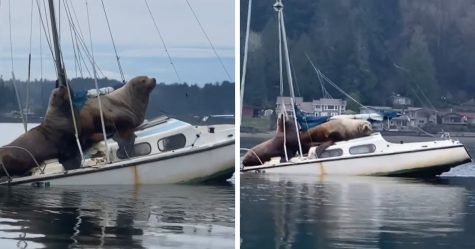 Deux immenses lions de mer ont «emprunté» le bateau de quelqu'un, et la vidéo est absurde