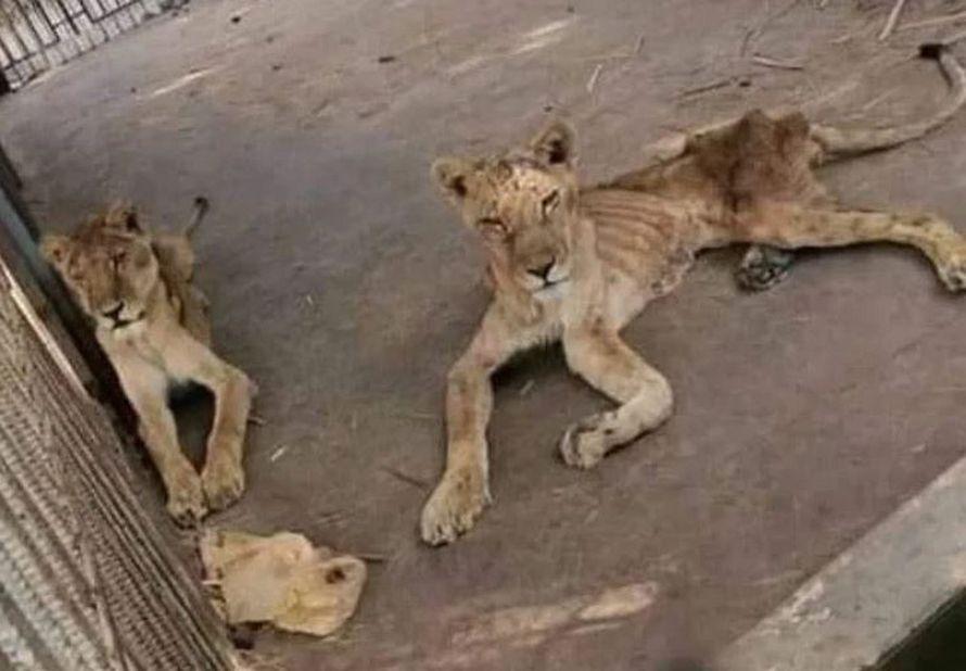 Des lions gravement sous-alimentés ont été trouvés dans des conditions horribles dans l'un des pires zoos du monde