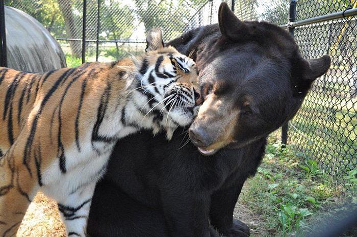 Cet ours, ce lion et ce tigre ne se sont jamais quittés depuis plus de 15 ans