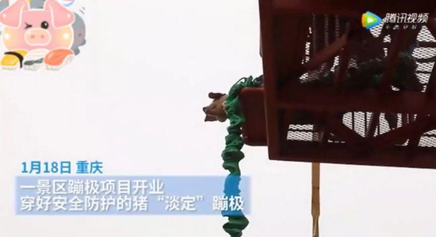 Ce parc à thème a été critiqué pour avoir forcé un cochon à faire un saut à l'élastique à 70 mètres dans les airs pour lancer une nouvelle attraction