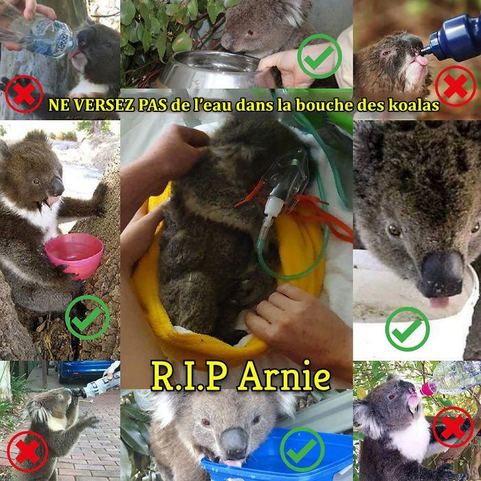 Quand un koala est décédé après avoir reçu de l'eau incorrectement, des vétérinaires ont expliqué comment bien le faire