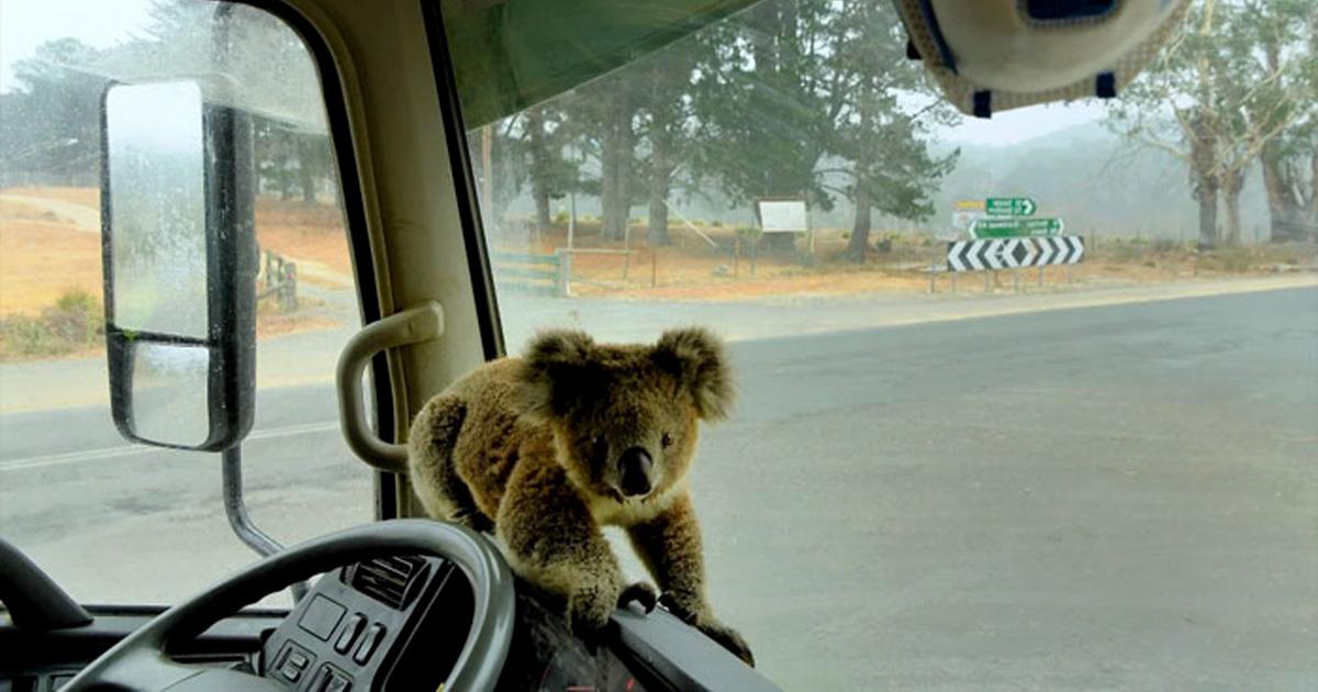 22 photos d'animaux sauvés des feux dévastateurs qui font rage en Australie