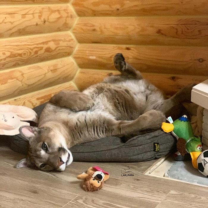 Ce puma a été sauvé d'un zoo, mais ne peut pas être relâché dans la nature, alors il profite de la vie en tant que chat domestique gâté (nouvelles images)