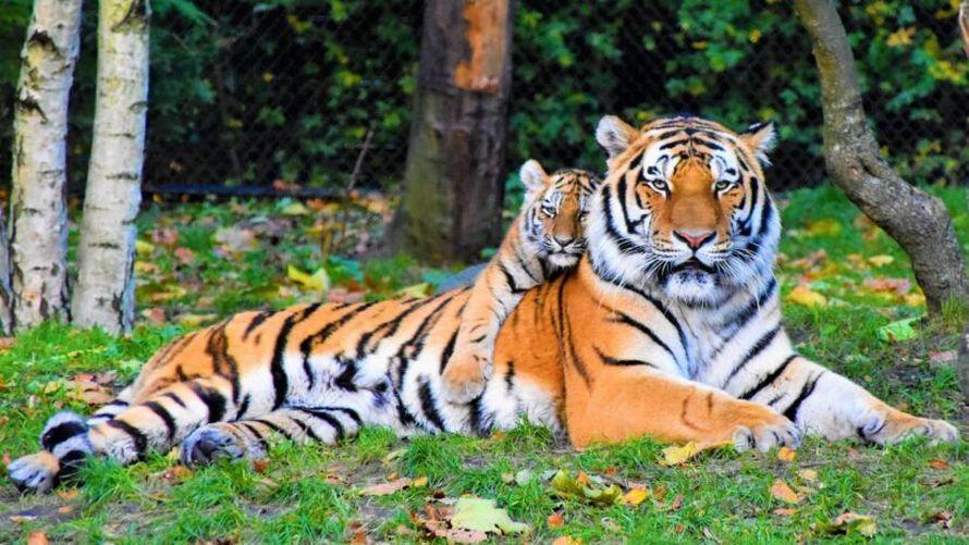 Cette tigresse a été photographiée se promenant dans la forêt avec ses cinq bébés tigres