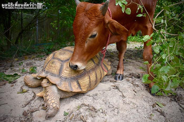 Cette tortue géante et ce veau qui a perdu sa jambe sont devenus meilleurs amis et passent tout leur temps ensemble