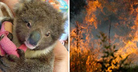 Plus d'un milliard d'animaux seraient morts dans les feux de forêt en Australie