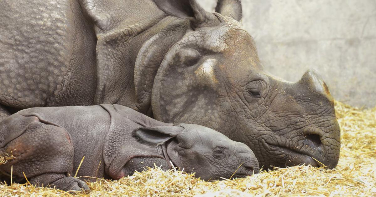 Le zoo de Denver a accueilli son premier bébé rhinocéros indien qui aime faire la sieste