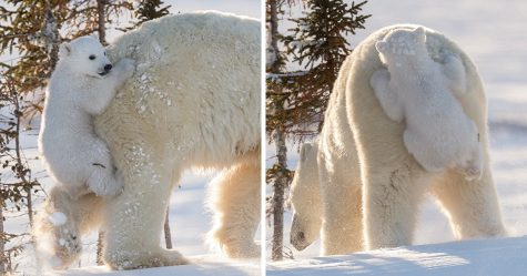22 bébés ours polaires mignons pour célébrer la Journée internationale de l'ours polaire
