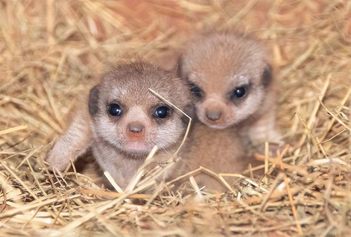 Ce zoo a présenté 11 photos de bébés suricates et elles vont te faire passer une excellente journée
