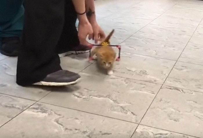 Ce chaton paralysé ne pouvait plus rester en place après avoir reçu un fauteuil roulant, et il est devenu un magnifique chat adulte