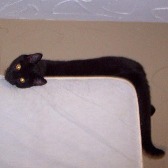 Des gens partagent des photos de leurs longs chats qui semblent s'étendre jusqu'à l'infini (25 images)