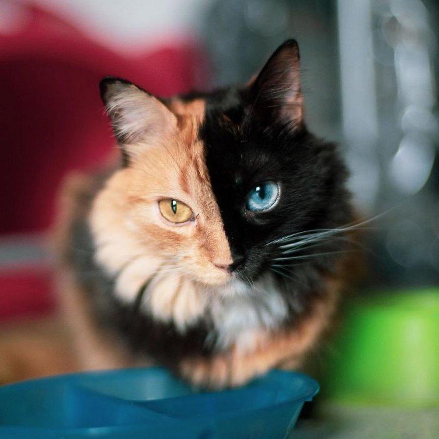Ces 22 photos montrent à quel point cette chatte à deux faces appelée Quimera est unique