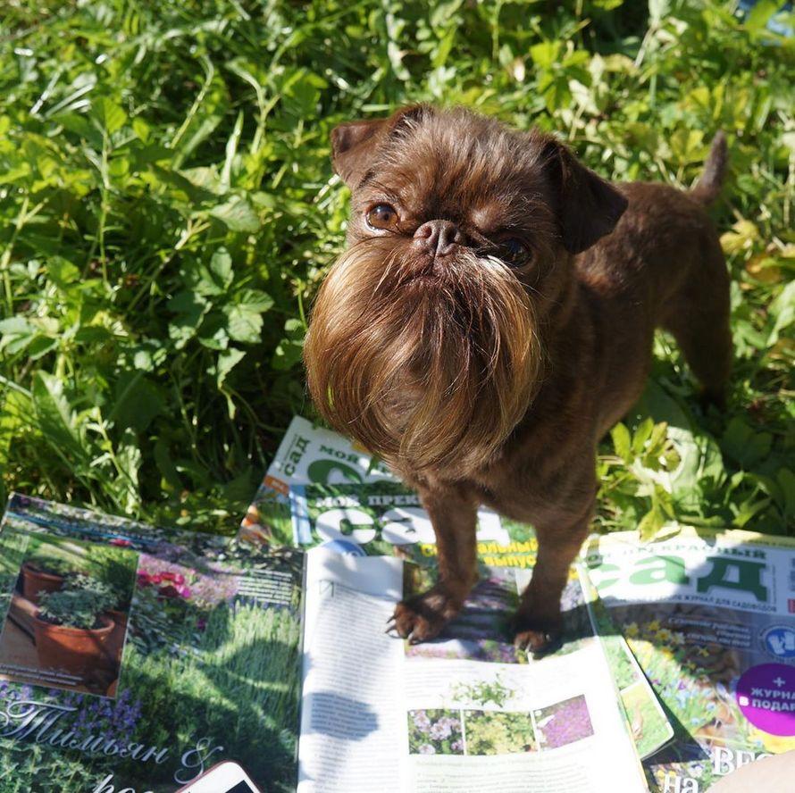 Ce chien hipster surnommé Chewbacca a une barbe de rêves