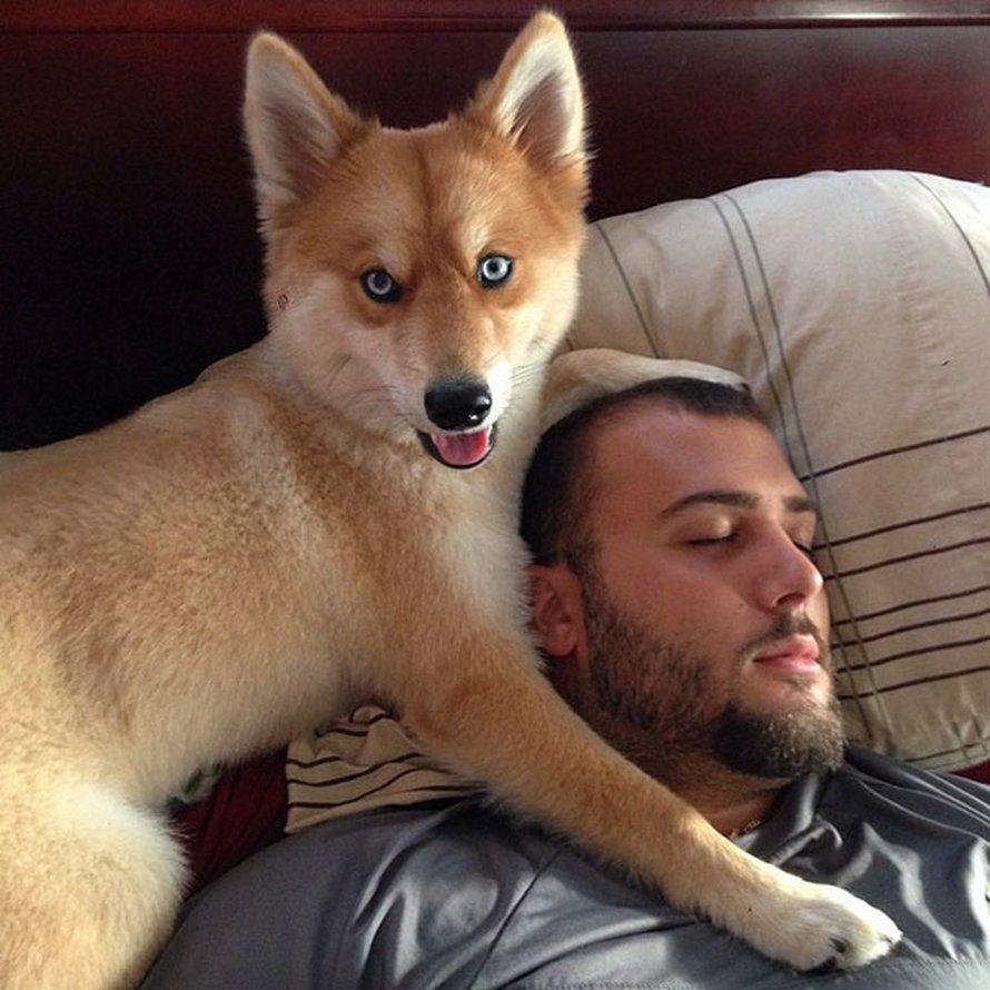 Voici le chien renard, un croisement entre un spitz nain et un husky (12 images)