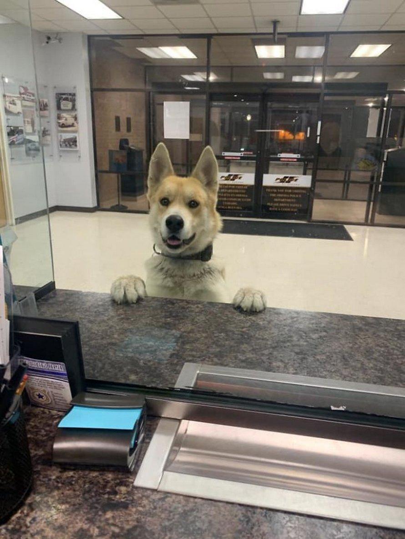 Ce chien est entré dans un poste de police pour «se déclarer disparu»