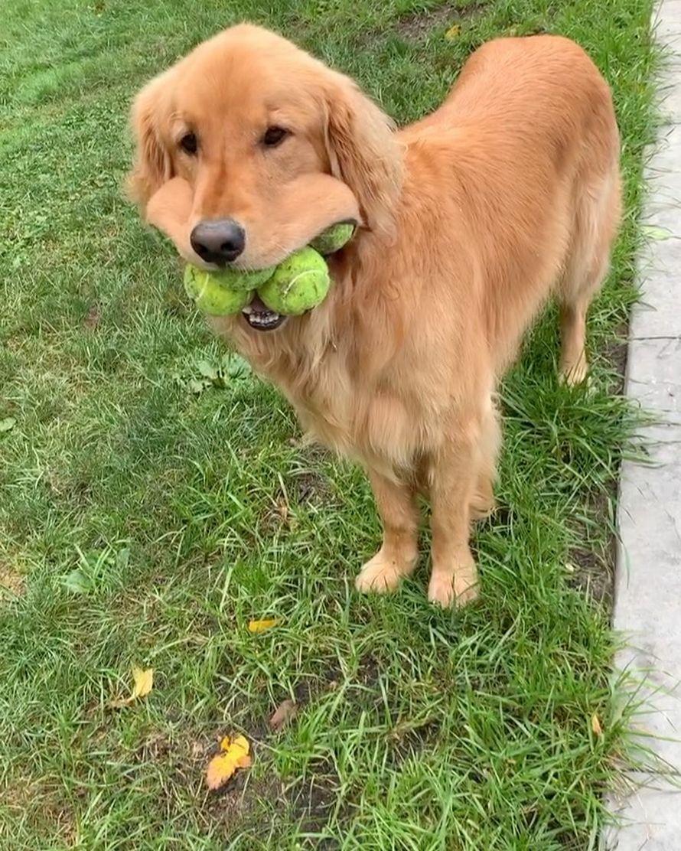 Ce chien a battu le record du monde Guinness pour le plus de balles de tennis dans sa bouche