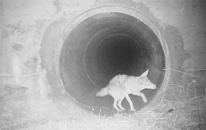 Regardez un coyote impatient presser son ami le blaireau afin qu'ils puissent découvrir un tunnel ensemble