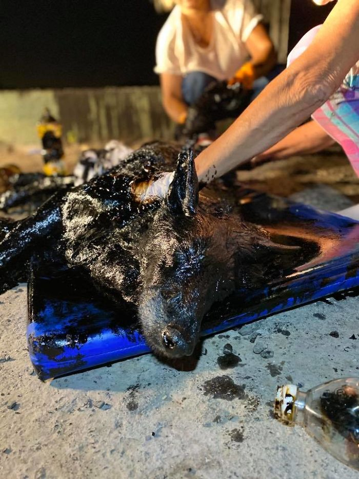 Des gens ont découvert une chienne couverte de goudron, alors ils ont travaillé sans relâche pour la sauver et ont réussi