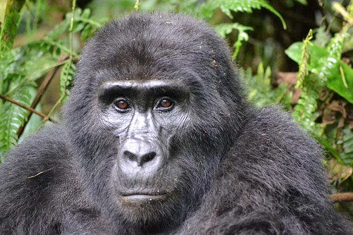 Une photo surprenante montre deux jeunes gorilles qui démontent des pièges posés par les braconniers qui ont tué leur ami