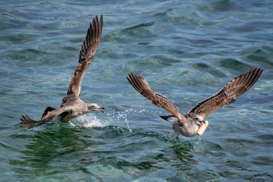 Une photographe animalière a été choquée de voir des mouettes se battre pour un gode
