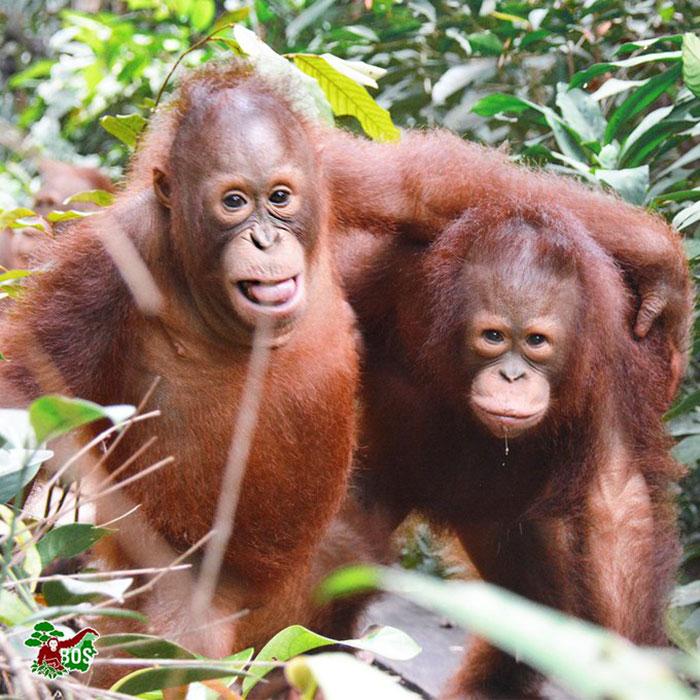 Cet orang-outan a été photographié alors qu'il tendait la main à un garde forestier pour l'aider à Bornéo