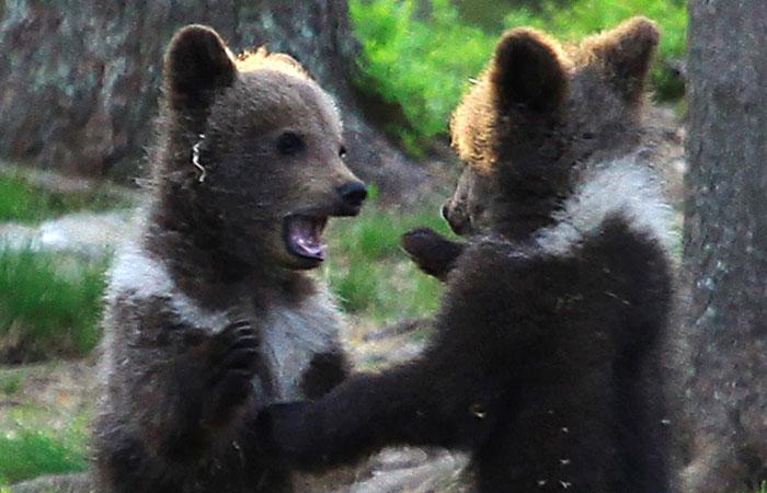 Un professeur est tombé sur des oursons «dansant» dans la forêt finlandaise et pensait qu'il rêvait