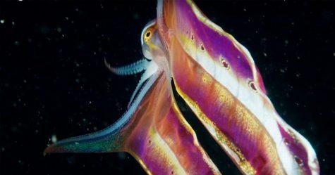 Cette vidéo montre une «pieuvre couverture» révélant sa membrane de 2 mètres de long et elle ressemble à un papillon de mer grandiose