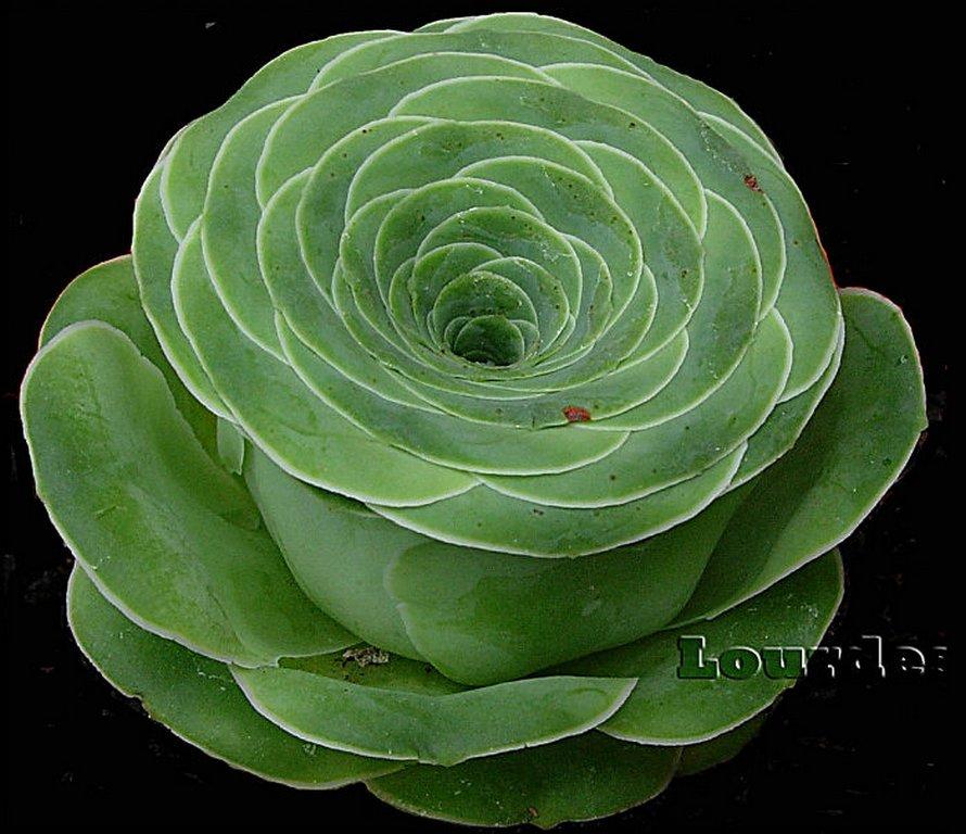 Les plantes succulentes en forme de rose existent et elles semblent tout droit sorties d'un conte de fées