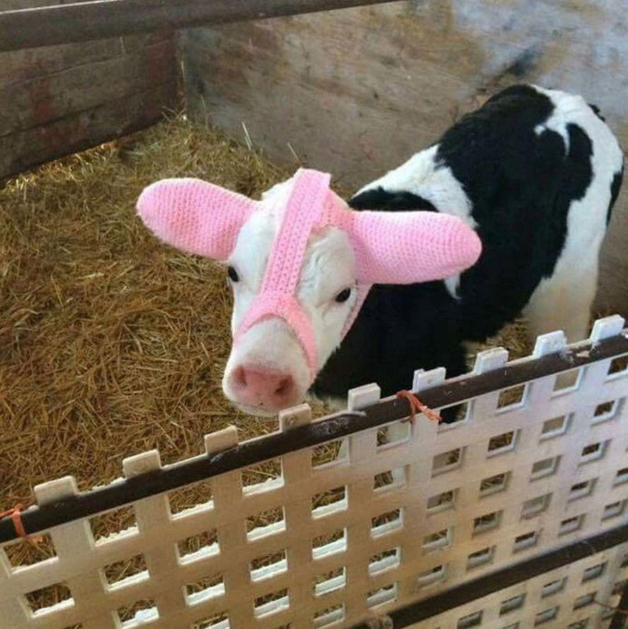 Topic des bonnes nouvelles - Page 20 Vache-coeur-sur-tete-nee-saint-valentin-004