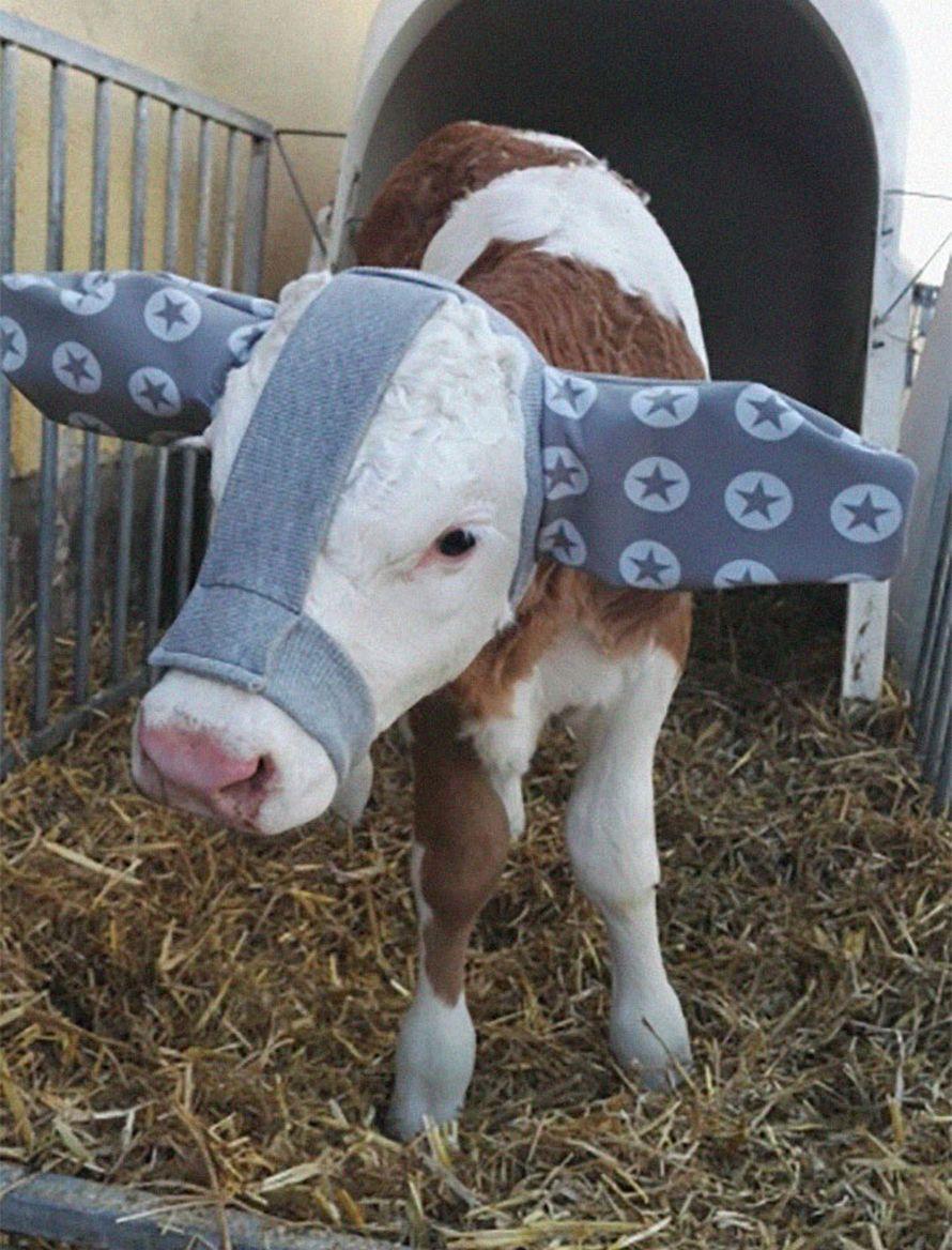 Cette vache est née à la Saint-Valentin avec une tache en forme de coeur parfait sur la tête
