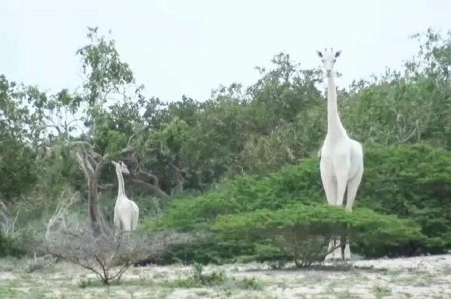 Des braconniers ont tué la seule girafe blanche femelle au monde et son petit au Kenya