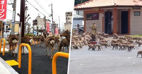Les animaux envahissent les villes alors que les gens se mettent en quarantaine à la maison