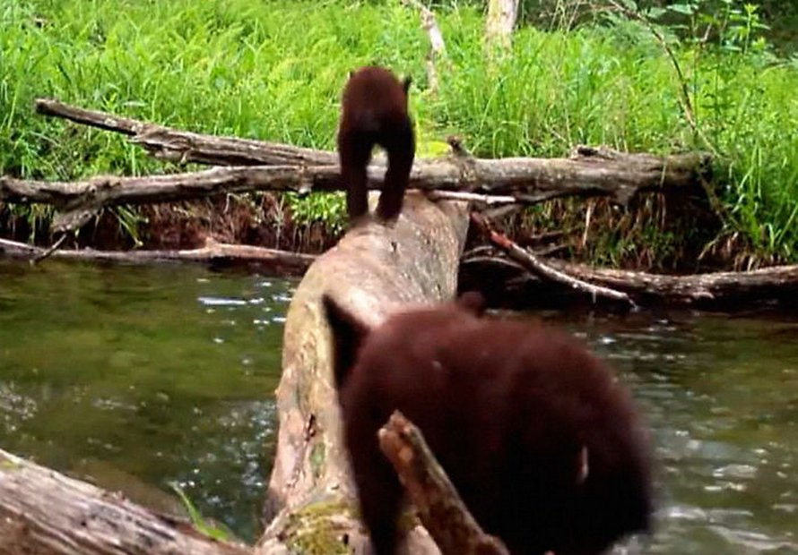 Un homme a filmé tous les animaux sauvages qui utilisent ce pont de bois et il était surpris qu'il y ait autant d'espèces différentes