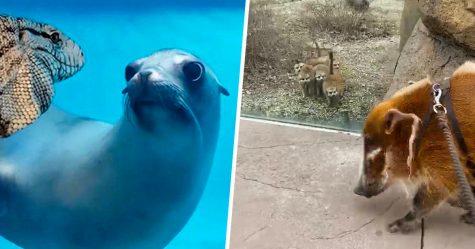 Les gens adorent ces vidéos d'animaux qui se voient pour la première fois dans des zoos