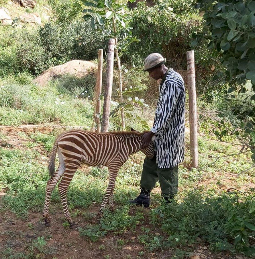 Ces agents de conservation utilisent des combinaisons spéciales pour prendre soin des bébés zèbres