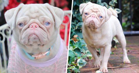Ce chien unique appelé Milkshake est l'un des 100 carlins roses dans le monde