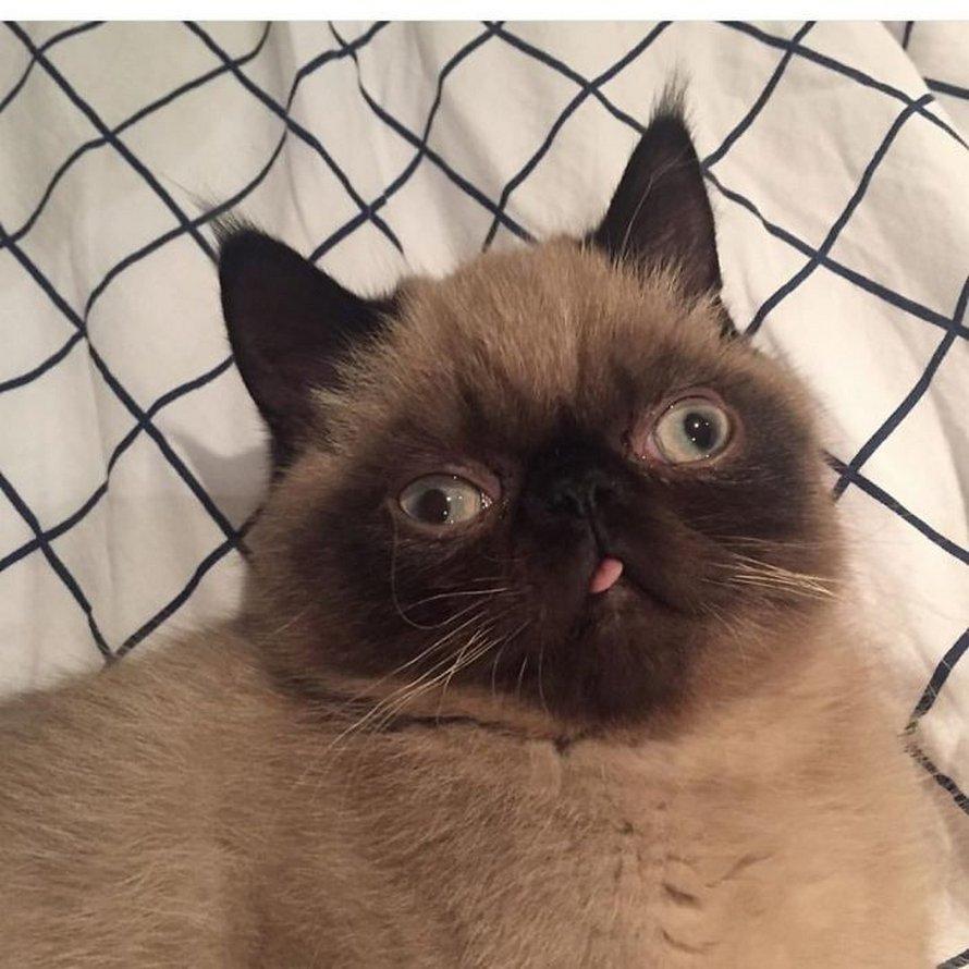 Ce chat est le roi des grimaces et il a envahi Internet