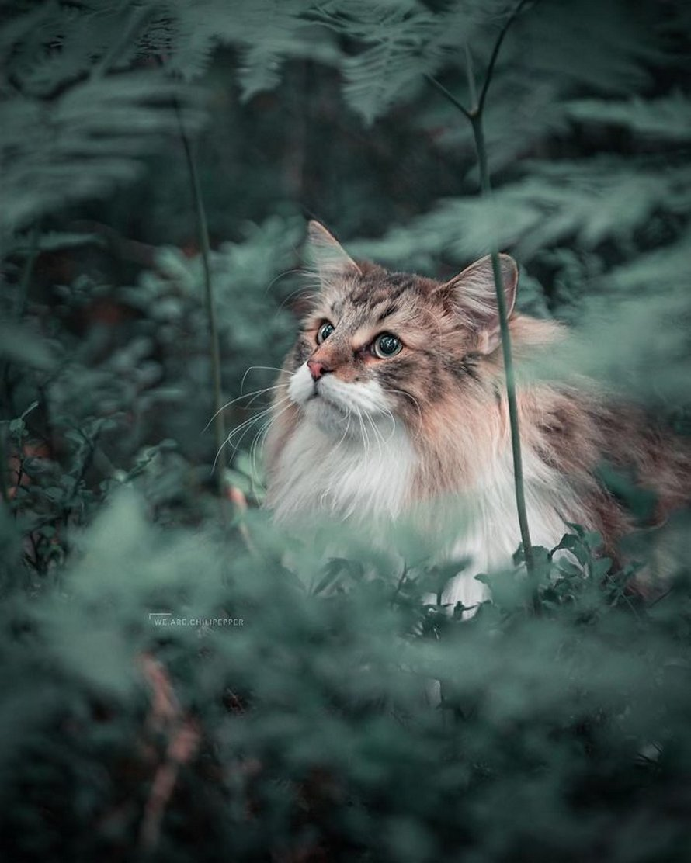 Ces gens laissent leur chat norvégien jouer librement dehors et ces 32 photos de sa vie sont magnifiques
