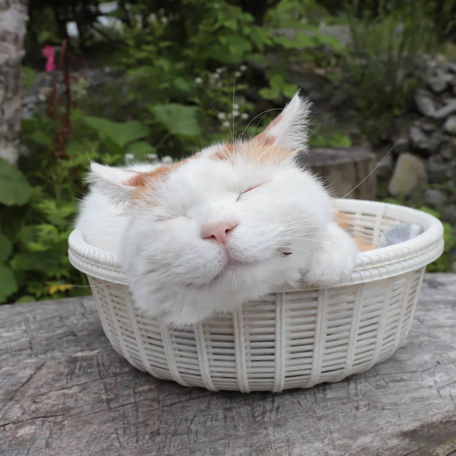 Shiro, le chat le plus relax du monde, est décédé à l'âge de 18 ans (22 images)