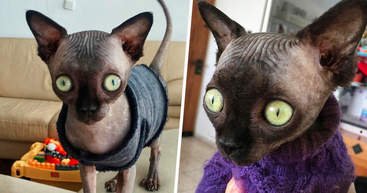 Cette chatte sphynx souffre d'une anomalie qui fait en sorte qu'elle ressemble à un bébé chauve-souris
