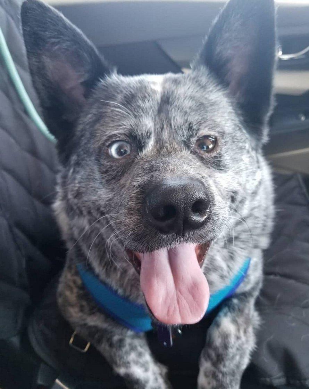 Ce chien miracle qui vit sans une partie de son cerveau est le «chien le plus heureux de tous les temps»