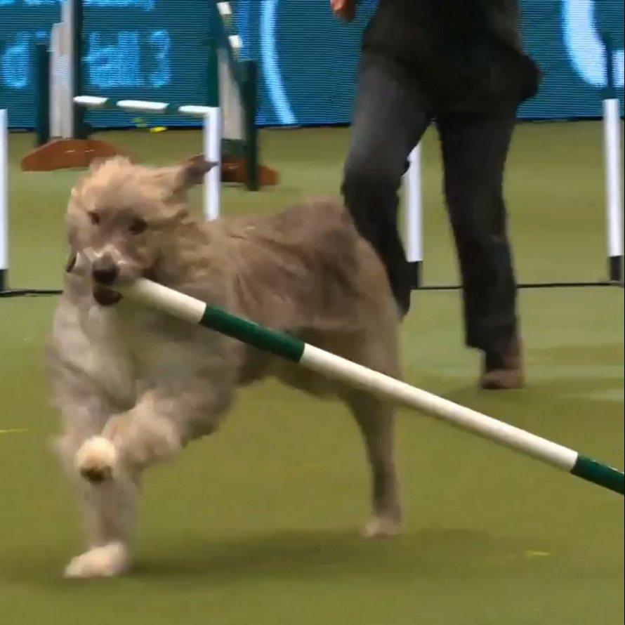 Kratu le chien secouru est complètement nul au concours canin de Crufts, mais on l'aime quand même