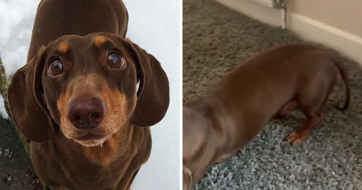 Ce chien-saucisse s'est foulé la queue après l'avoir trop remuée parce que tout le monde était à la maison
