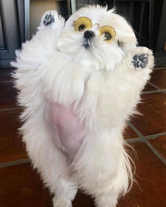 Voici Coco la chienne qui adore se tenir debout sur ses pattes arrière