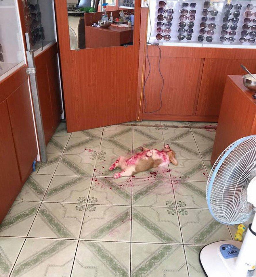 Ce corgi a donné une mini crise cardiaque à son propriétaire après avoir mangé du fruit du dragon et fait une sieste dans le gâchis