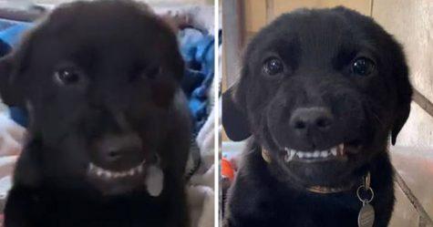 Ce chiot souriant montre ses dents à tout le monde dans un refuge dans l'espoir de trouver une maison