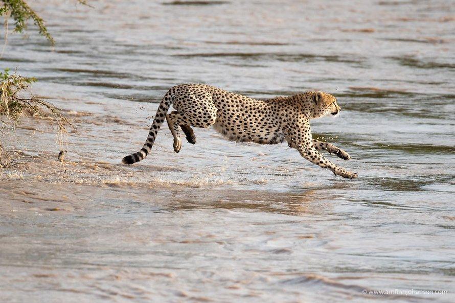 Des photographes ont eu la chance de voir 5 guépards traverser une rivière en crue infestée de crocodiles