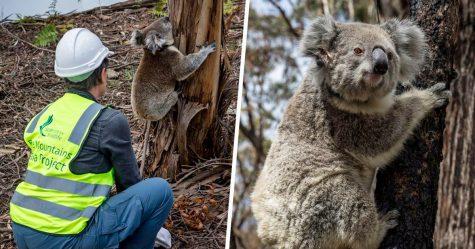 Des koalas ont été relâchés dans la nature après les incendies en Australie